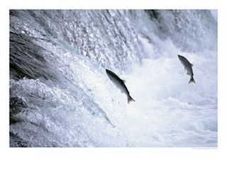 446861sockeye-salmon-spawning-katmai-national-park-ak-posters